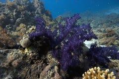 Corallo subacqueo Fotografie Stock
