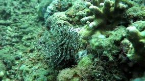 Corallo subacqueo e piante Bali, Indonesia video d archivio