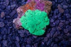 Corallo verde del muchroom del Giappone del watermalon Immagini Stock Libere da Diritti