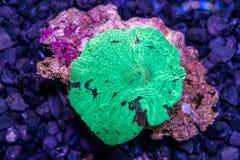 Corallo verde del muchroom del Giappone del watermalon Fotografia Stock Libera da Diritti