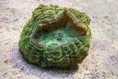 Corallo verde di Scolymia Fotografia Stock Libera da Diritti