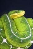 亚马逊盆地树蟒蛇/Corallus batesi 库存图片