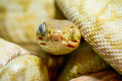 Corallus Hortulanus Snake stock photo