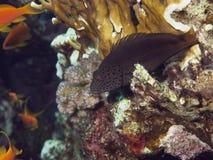 Coralreef en Mer Rouge Image libre de droits