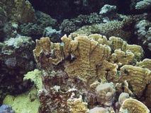 Coralreef en Mer Rouge. Images libres de droits