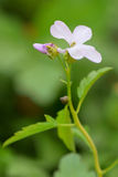 Coralroot (Cardamine bulbifera) Stock Photography