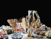 Corals Royalty Free Stock Photos