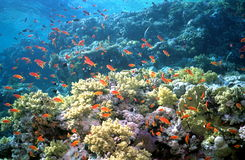 Corals. Red fishes at a coral reef Royalty Free Stock Photo