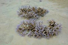 corals Immagini Stock