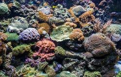 Corals in aquarium Stock Images