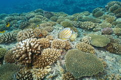 Corals with butterflyfish Pacific ocean floor Royalty Free Stock Image