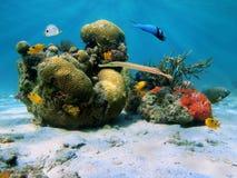 Corals in the caribbean sea. Underwater scene in the Caribbean sea with brain coral and tropical fish Stock Photo