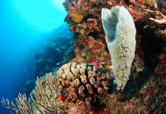 Corals in Caribbean sea stock image