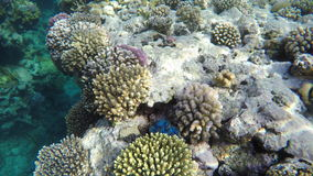 Corals and colorful fish in the clear water of the Red Sea.  stock video footage