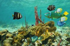 Corals and colorful tropical fish under the water. On a shallow seabed of the Caribbean sea Stock Photo