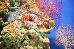 Corals and deep-sea fish Stock Photography