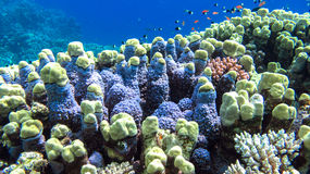 Corals, Egypt, Marsa Alam. Corals in Marsa Alam Egypt in day light, some small fish around Royalty Free Stock Photo