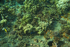 Corals and exotic fish Stock Photography
