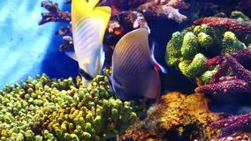 Corals and exotic marine fish. Ocean life. The Oceanarium of bangkok. Scene under water. Large aquarium. Wild nature. Tropical inhabitants stock footage