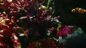 Corals and exotic marine fish. Ocean life. The oceanarium. Scene under water. Large aquarium. Wild nature. Tropical inhabitants clown fish stock video