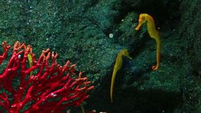 Corals and exotic marine fish. stock footage