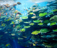 Corals with fish Royalty Free Stock Image