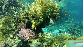 Corals. Fish and clear water. Underwater coral reef red sea. The corals and fish. Transparent and warm water. Underwater life tropical fish. Beautiful exotic stock video footage