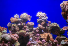 Corals and fish. Corals and fish in the depths of the sea Royalty Free Stock Photography