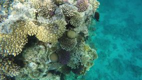 Corals and fish on reefs stock video