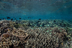 Corals and Fish in Shallows. A diverse coral reef grows in the shallows in Indonesia. This tropical region harbors a diverse array of marine life and offers Stock Photography