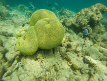 Corals and fish Royalty Free Stock Image