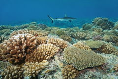 Corals with a grey reef shark in background Royalty Free Stock Photo