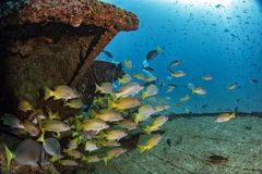 Ship Wreck in bali indonesia indian ocean. Corals growing on Ship Wreck underwater while diving indonesia stock images