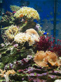 Corals in marine aquarium Royalty Free Stock Image