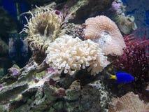 Corals and marine life in aquarium Stock Photo