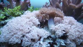 Corals in an office aquarium stock footage