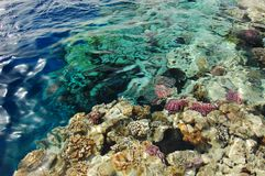 Corals of red sea Stock Image