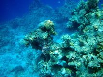 Corals in the Red Sea. The underwater scenery with coral reefs and fish in the Red Sea. Sharm el Sheikh, Egypt Royalty Free Stock Photo