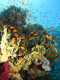 Corals Reef Royalty Free Stock Photo