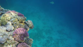 Corals on a reef in the clear water. Red sea.  stock video