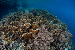 Corals and Reef Drop Off. A healthy coral reef drops into deep water in Raja Ampat, Indonesia. This region is known to harbor an extraordinary amount of marine Royalty Free Stock Photo
