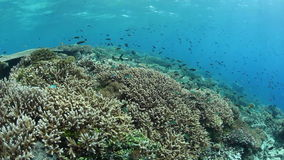 Corals and Reef Fish. Colorful fish swim over a diverse coral reef growing near a remote island in Indonesia stock video footage