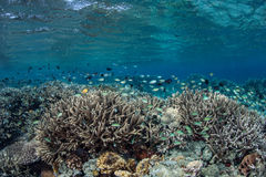 Corals and Reef Fish Royalty Free Stock Images