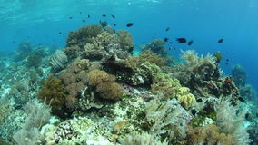 Corals and Reef Fish in Indonesia. Colorful fish swim over a coral reef near Alor in Indonesia. This part of the tropical Pacific is home to an extraordinary stock video