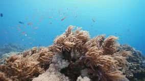 Corals Reef at Layang-layang Island. Trucking shots of Coral Reefs with soft coral and a school Anthias stock video