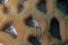 Corals in reproduction Royalty Free Stock Image