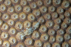 Corals in reproduction Stock Image