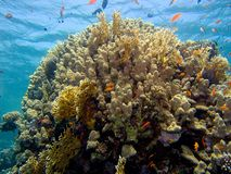 Corals scene in the Red Sea Royalty Free Stock Photos