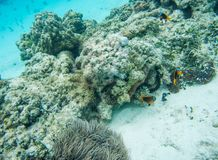 Corals, Sea Cucumber and Tropical Fish: New Caledonia. Colourful clown fish, domino damsel, wrasse and surgeonfish swimming in natural coral reef system with sea Stock Photo