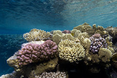 Underwater scene with colorful corals stock photography